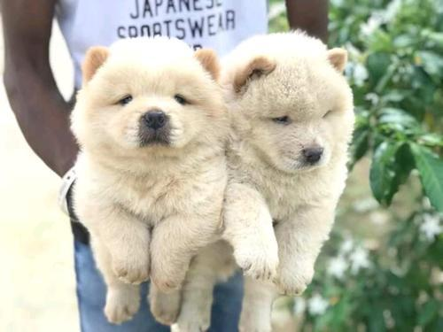 Pure breed chow chow puppies for sale