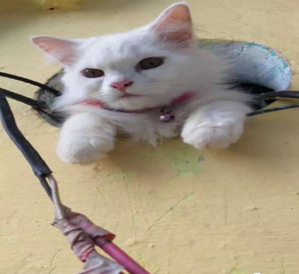 Want female cat for metting to my male persian cat urgent