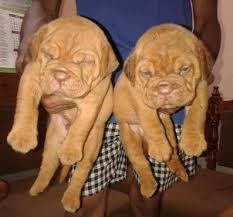 Cute french mastiff puppies male and female for sale kci re