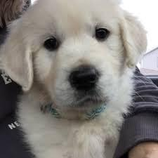 Golden retriever puppies looking for a lovely homes