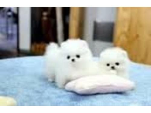 Cute teacup pomeranian puppies for re homing