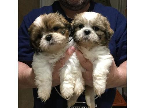 Lovely kci shih tzu male and female puppies for sale