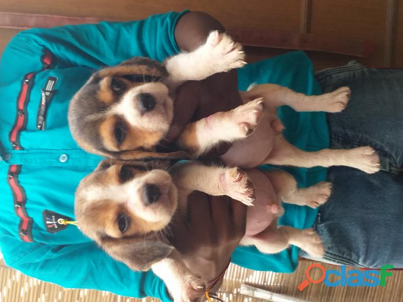 Beagle pups available 9871818186