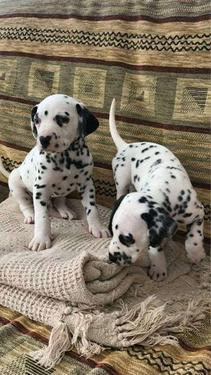 Adorable and welcoming dalmatian puppies given at 15k we ar