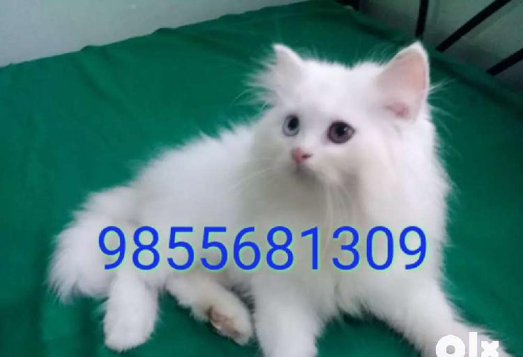Persian Cats Breed Ads December Clasf