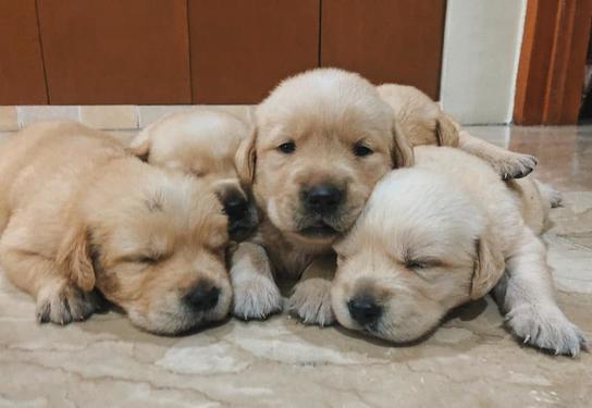 Kci registered labrador puppies for sale labrador puppies a