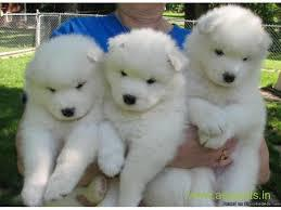 White kci samoyed male and female puppies for sale