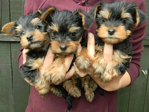 Smart pet yorkie male and female puppies ready forever home