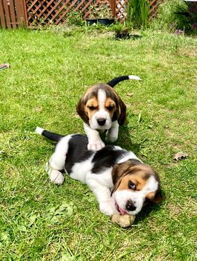 Awesome and shining beagle puppies for sale we have preciou