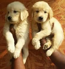 Beautiful golden retriever male and female puppies for sale