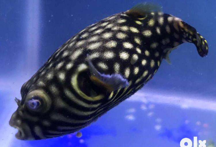 Rare puffer fishes for sale