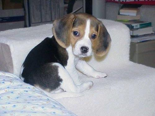 Cute kci beagle male and female puppies for sale the puppies