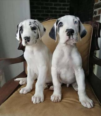 Beautiful pure dog breeds puppies kennel for diwali you n