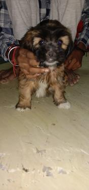Lhasa apso puppies ready now for sale trust kennel