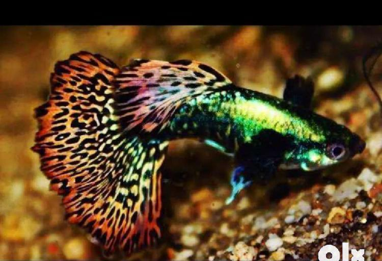 Adult dumbo mosaic guppy