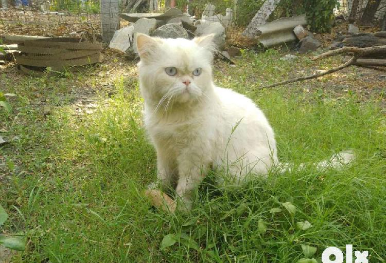 Persion cat male only for meeting not for sale