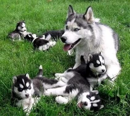 Make your family happy with super top qaulity husky puppies