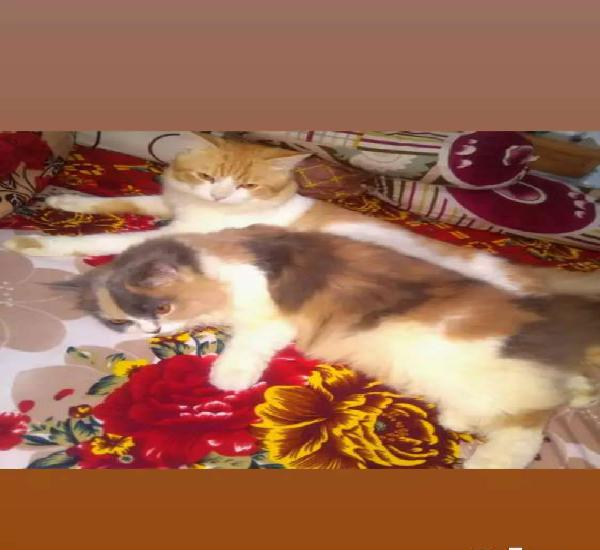 Ragdoll male and calico female adult for sale