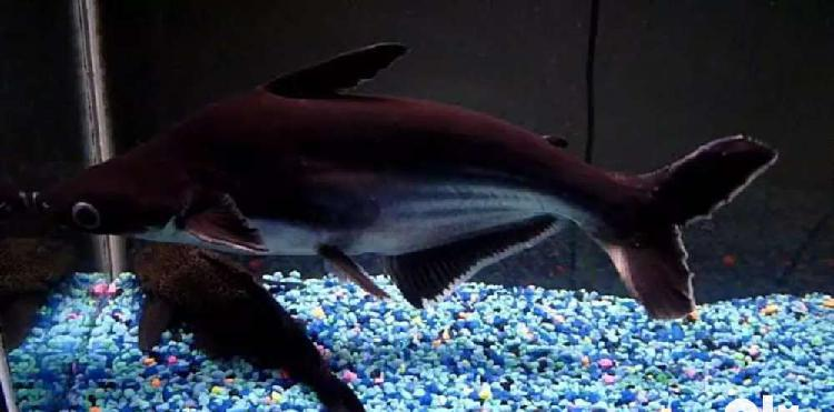 Iridescent shark 4years age