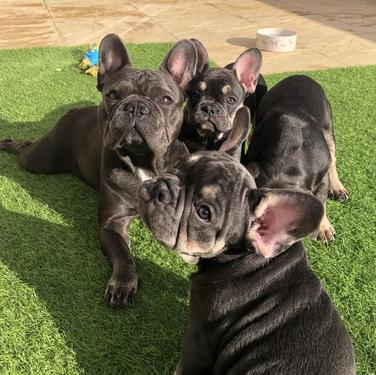 Adorable and lovely french bulldog male and female puppies