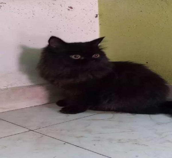 Persian doll face female cat. 6 months old