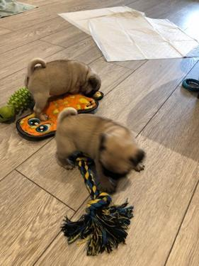Healthy male and female pug available