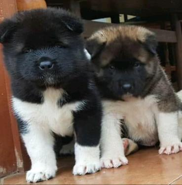 Cute akita puppies male and female for sale