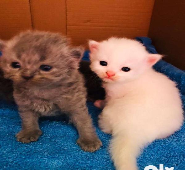 Kitten persian grey white cat
