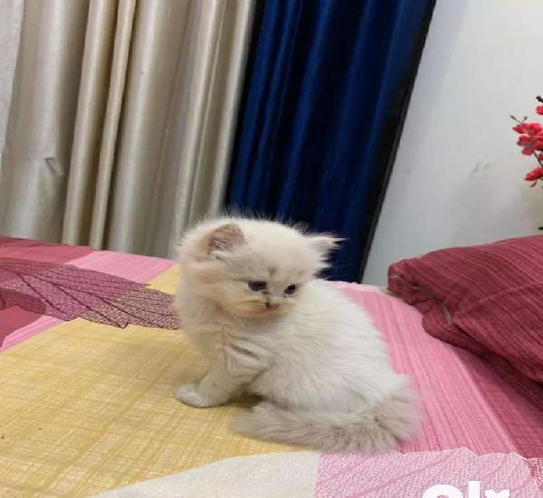 Persion kittens all colors pure breed