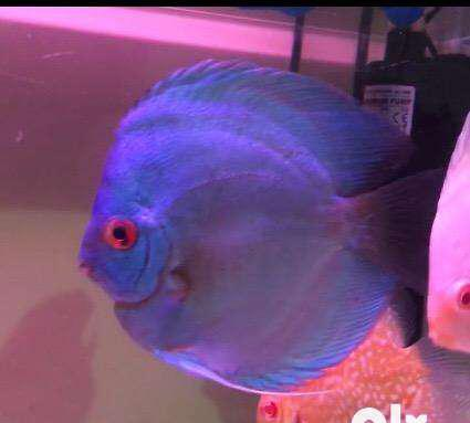 Premium quality discus fishes for sell