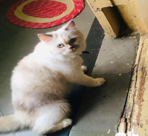 Doll face persian female for matting