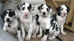 Lovely and adorable kci great dane male and female puppies