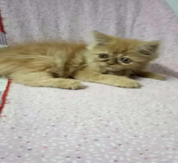 Persian kitten sami punch