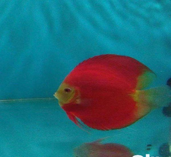 Discus avilable