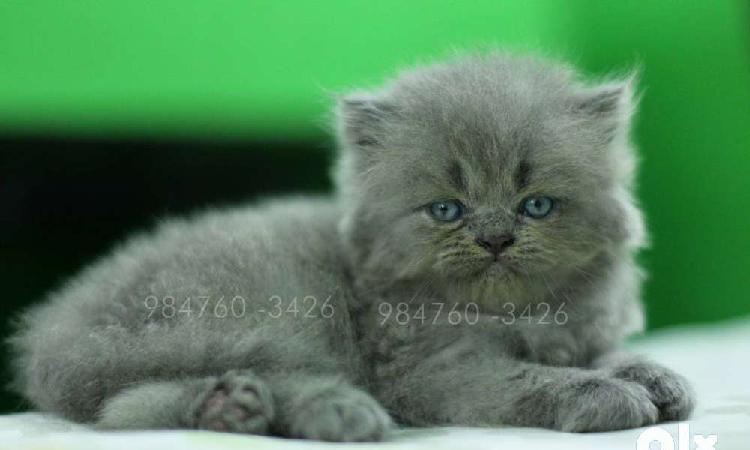 Hard rock russian blue