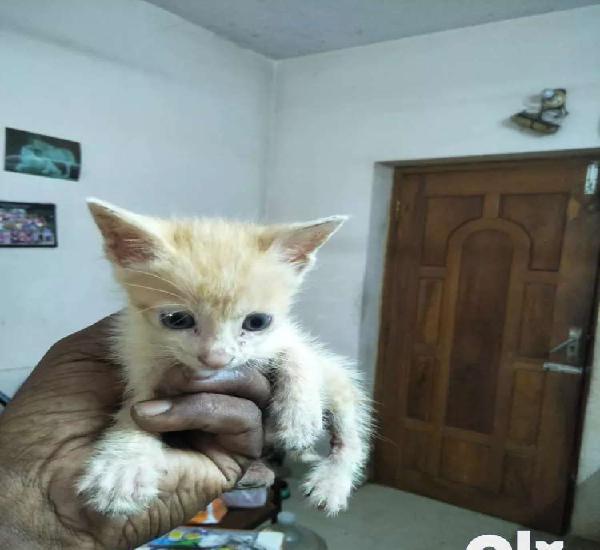 Kitten 30 days orange healthy