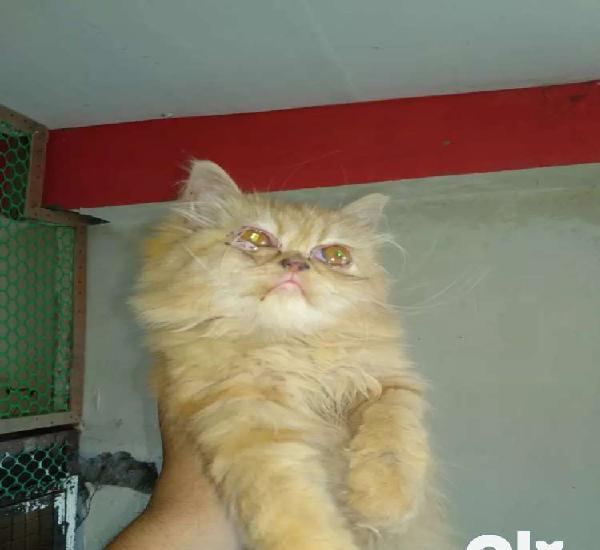 Persian golden tabby cat