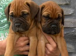 Adorable and nice kci bull mastiff male and female puppies f