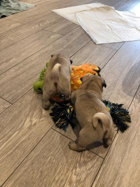 Precious healthy male and female pug available