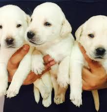 Adorable cute and good kci labrador male and female puppies