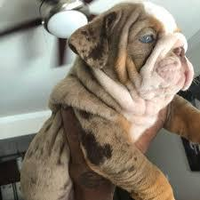 Adorable kci registered english bulldog pup for sale