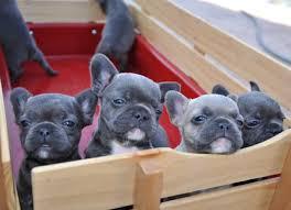 Beautiful and pure breed english bulldog puppies fr sale