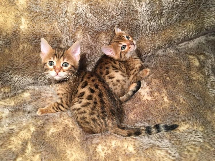 Fantastic bengal babies 1 boy and 1 girl still available now