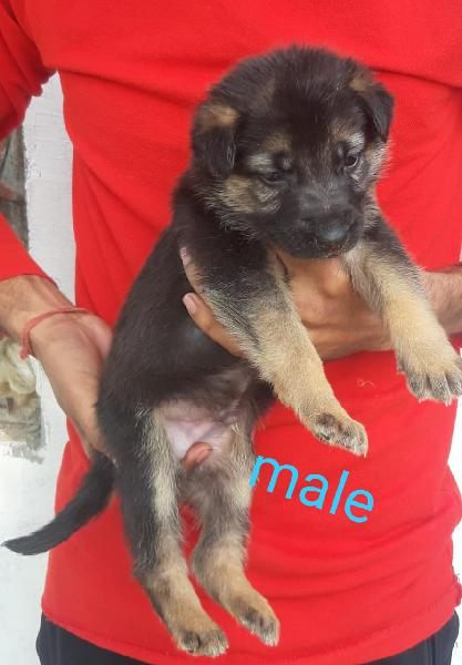 German shepherd puppies available here trust kennel
