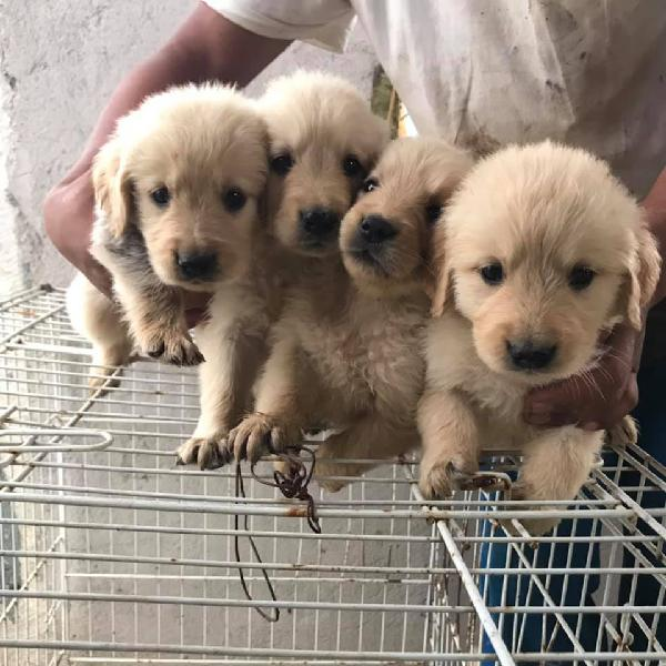 Golden retrievers male and female available now for new home