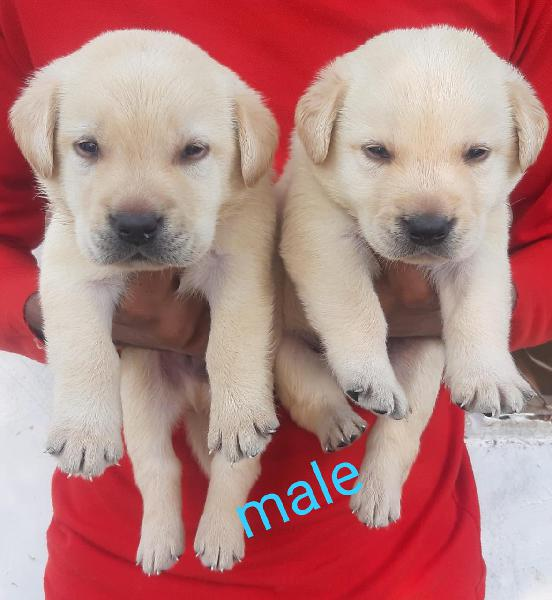 Labra puppies available here trust kennel