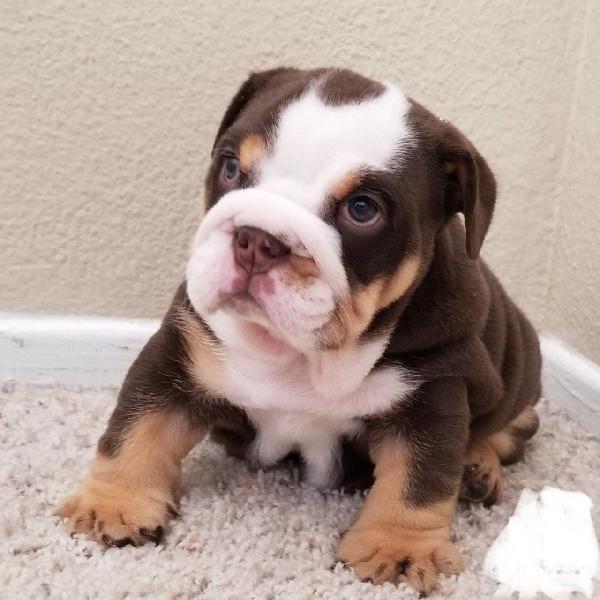 Amazing english bulldog puppy for free adoption
