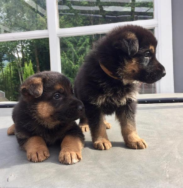 Adorable german shepard puppies for new homes now 7 week old