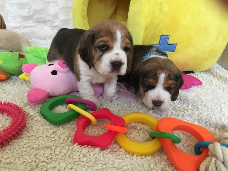 Beagle puppies for sale trust kennel delhi