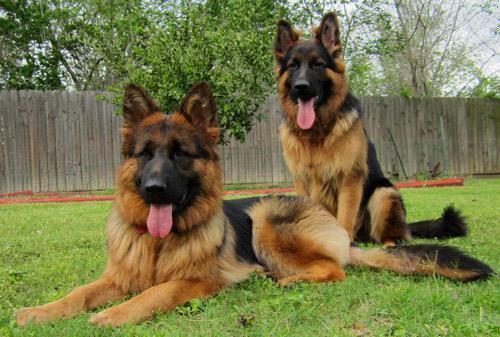 Trust kennel online pets shop german shepherd pups for sale